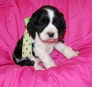 Cocker Spaniel puppy for sale.