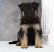 German Shepherd puppy for sale.