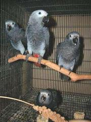 African Grey parrots for sale.